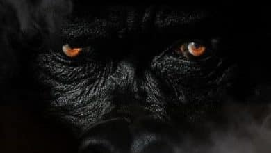 Sheek Louch - Silverback Gorilla 2 cover